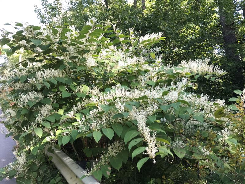 Invasive Plants: Issues, Identification, Ecology
