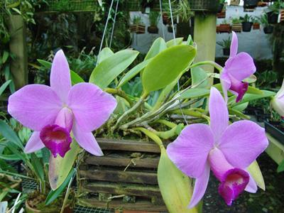 Growing Orchids and Epiphytes