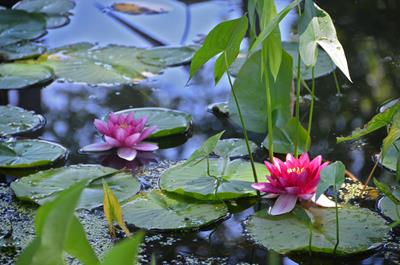 Introduction to Freshwater Aquatic Plants: Part 1