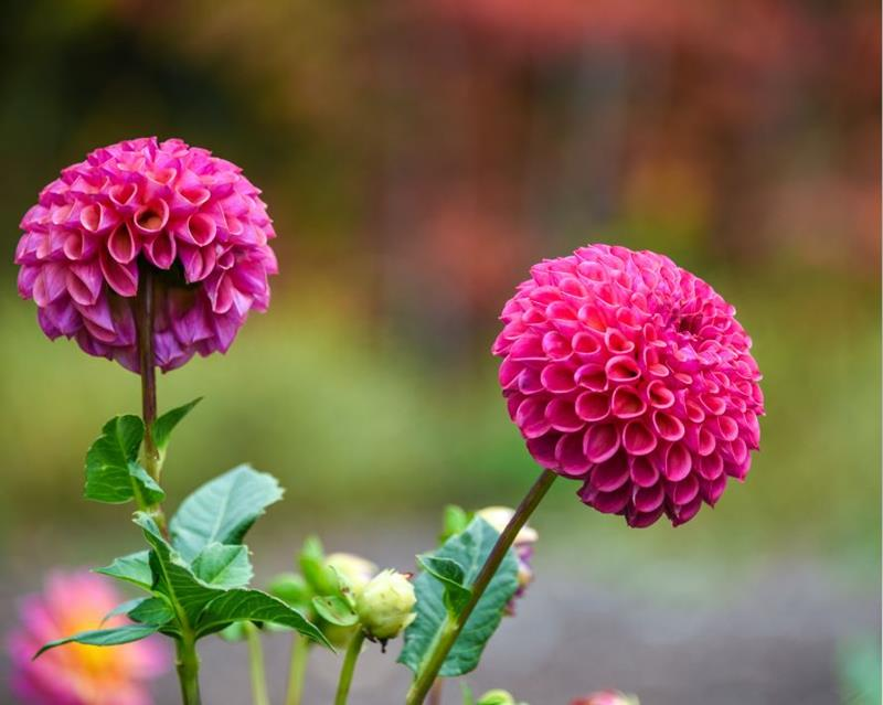 Growing Dahlias: Cultivating Color