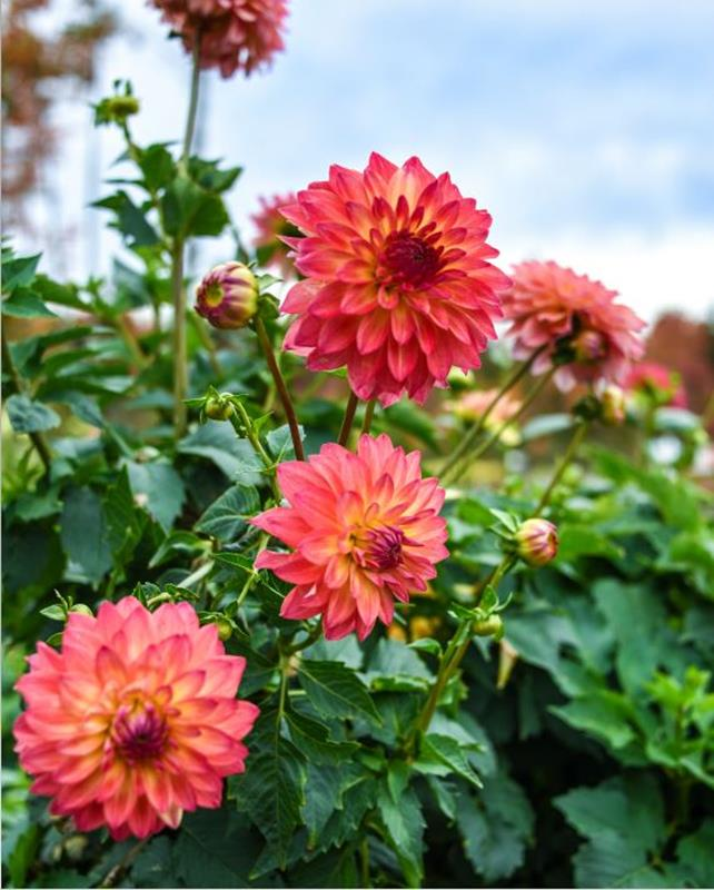 Growing Dahlias: Harvesting and Propagating