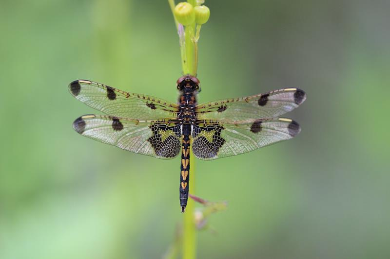 Dragonflies and Damselflies of Maine